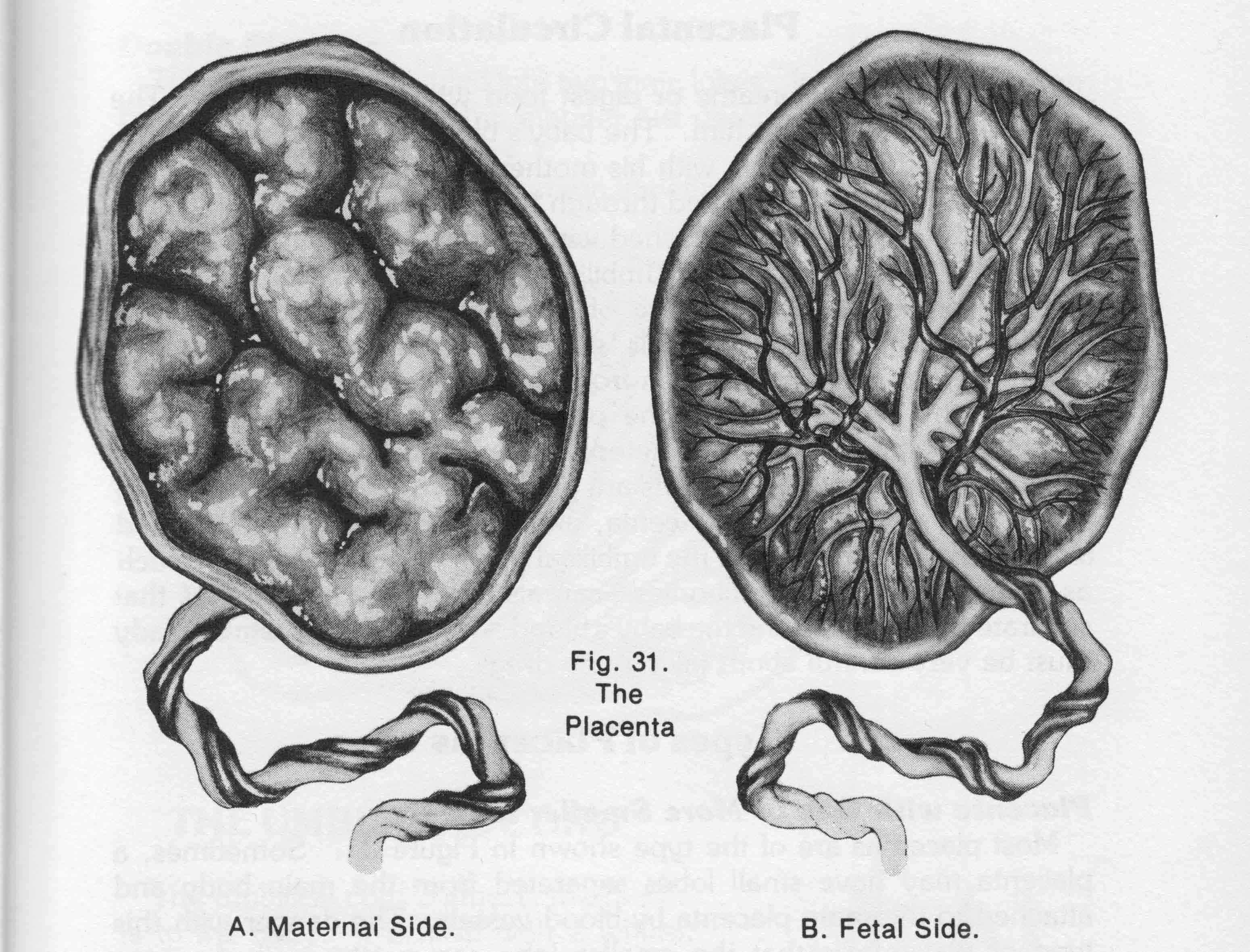 Як виглядає плацента після пологів фото